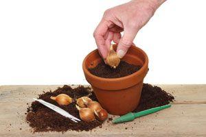 Ilustración de Cómo Plantar Bulbos