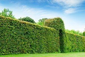 Ilustración de Plantas para Cercos Verdes