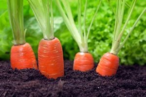 Ilustración de Cómo Cultivar Zanahorias