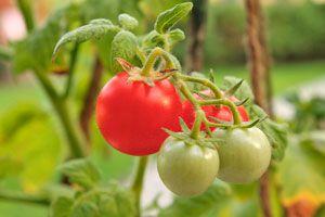 Ilustración de Cómo Cultivar Tomates