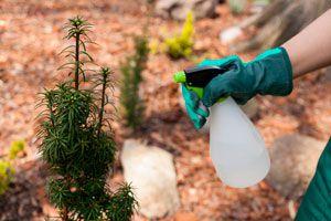 Ilustración de Cómo hacer un Insecticida Natural