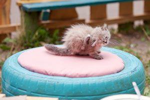 Ilustración de Cómo Quitar las Pulgas a un Gato