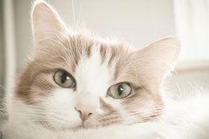 Ilustración de Cómo Saber si un Gato tiene Fiebre