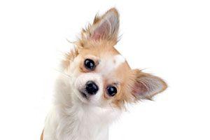 Ilustración de ¿Por Qué los Perros Inclinan la Cabeza?